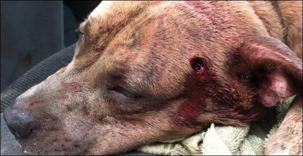 Although the wound is gruesome, Ammo is reportedly OK after surgery.