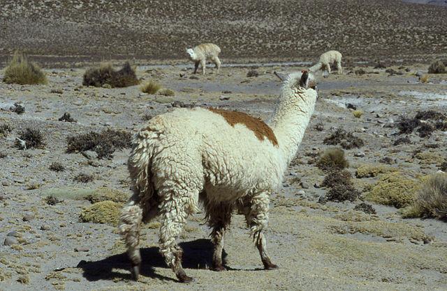 Alpaca in Peru, via Wikimedia Commons
