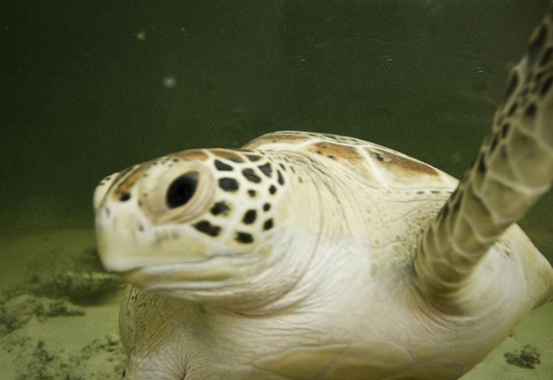 Green sea turtle, via Wikimedia Commons