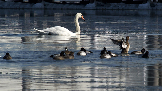A Mute Swan swims in the waters near City Island January 30, 2014 in New York. (AFP Photo / Don Emmert)