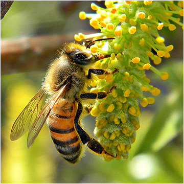 Honey Bee on Willow Catkin / Photo by Bob Peterson, via Wikimedia Commons