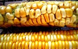 gmo_corn1-263x165