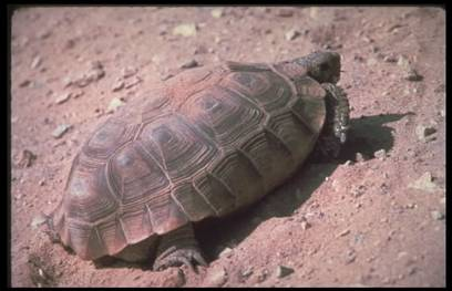 "700 - 840 sick tortoises may be euthanized ""because that's the sensible thing to do."""