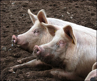 Free-range pigs, by Evelyn Simak, Geograph.co.uk