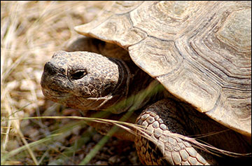 Desert tortoise lacks teeth and depends on dung for water and protein.