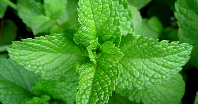Study: Peppermint Helps the Meal Go Down