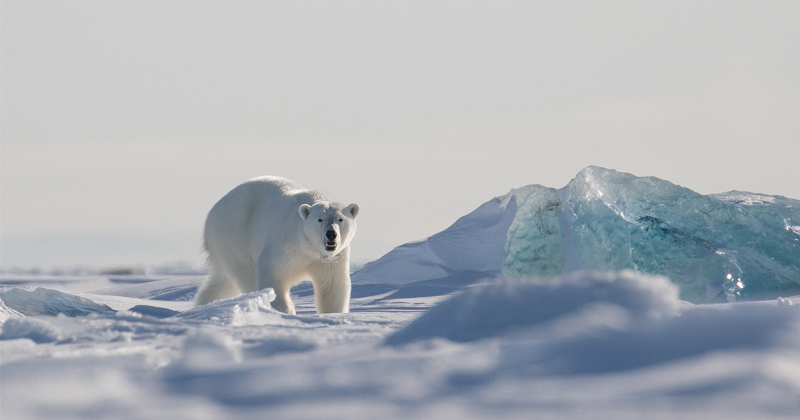 'Climate' activists seek to ditch polar bear pics as growing populations defy 'emergency' narrative