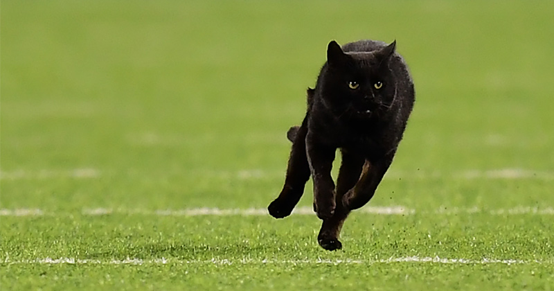 Black Cat Invades NFL Game