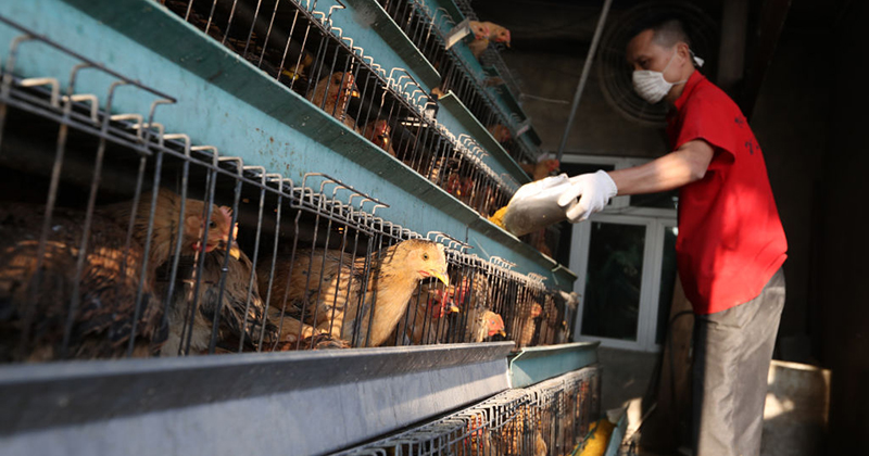 Bird Flu Is Back - China Faces Yet Another Viral Plague