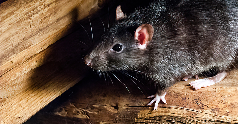 Chinese Man Tests Positive For Hantavirus From Rats After Dying On Bus Full of Passengers