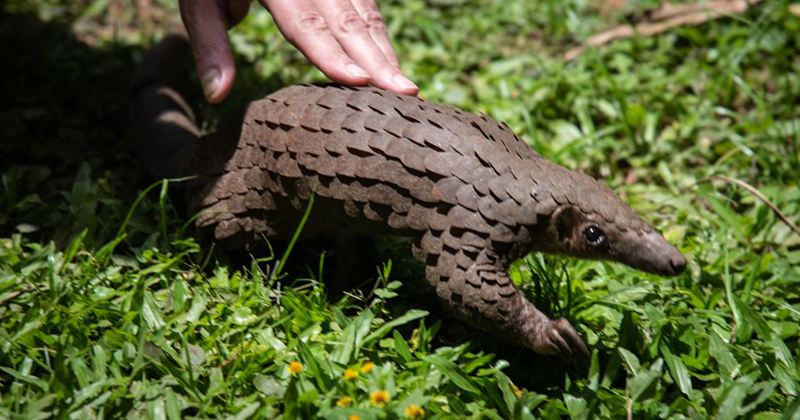 Peer-Reviewed Study Rejects Pangolins As Intermediary Species For COVID-19