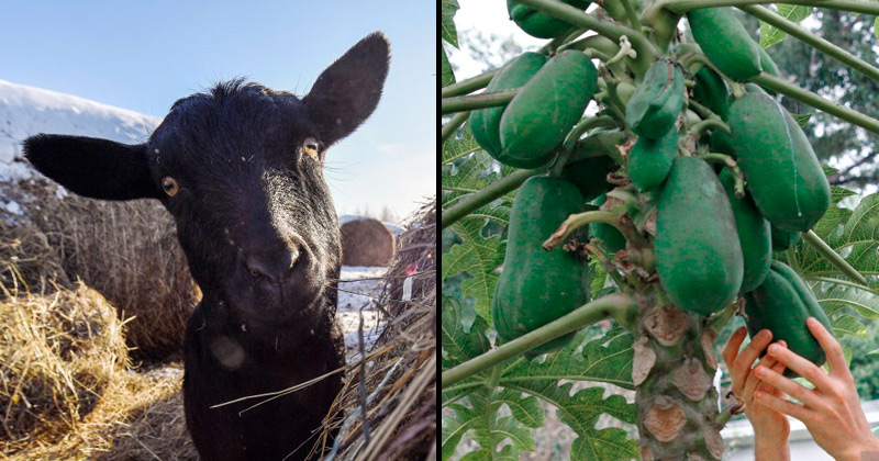 """""""There is something happening"""": Tanzanian President Blasts COVID-19 Tests After Goat, Fruit Test Positive"""