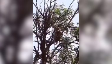 Watch: Panic Grips Residents of Indian City as Monkeys Steal COVID-19 Blood Samples
