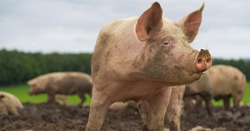 Media Pushing Pig Virus as Potential 'Next Pandemic'