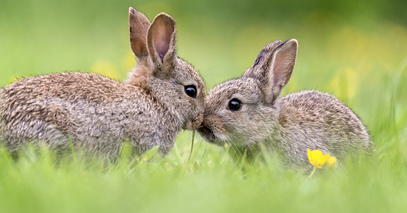 """In Addition To Everything Else, Now """"Bunny Ebola"""" Is Spreading Rapidly In The United States"""