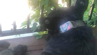 $5,000 Reward Offered For Culprit Who Put 'Trump 2020' Sticker on Bear's Collar