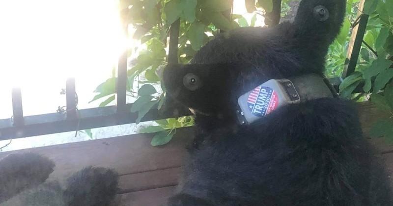 $5,000 Reward Offered For Culprit Who Put 'Trump 2020' Sticker on Bear's Collar